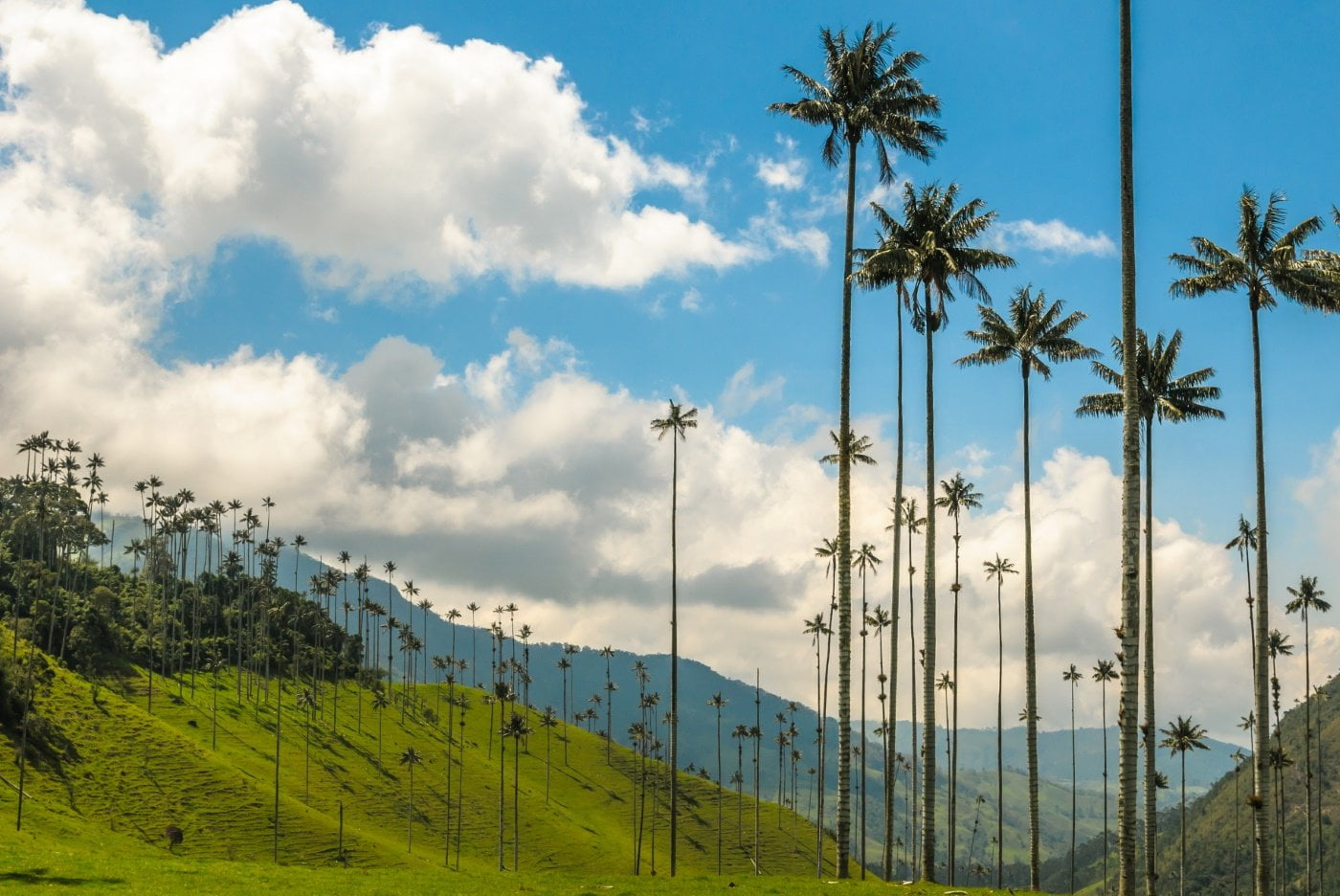 Paisaje con palmas de cera en el valle del cocora, quindío