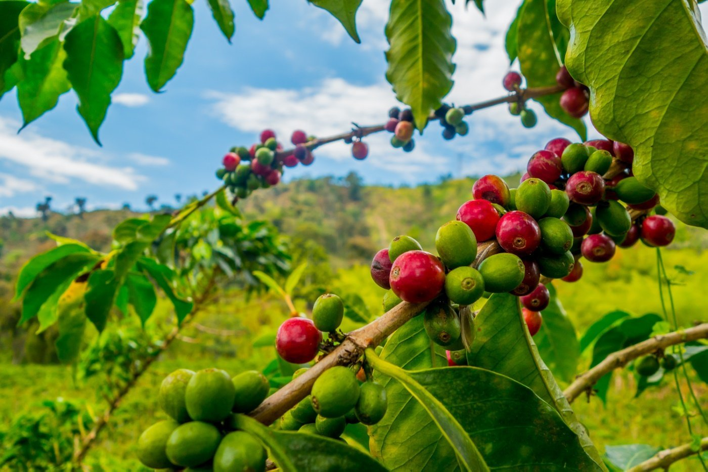 Granos de Café cultivados en las montañas del departamento del Quindío, Colombia.