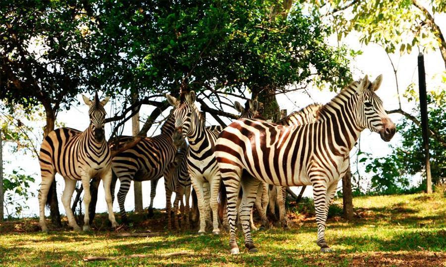Zebras en la Hacienda Nápoles