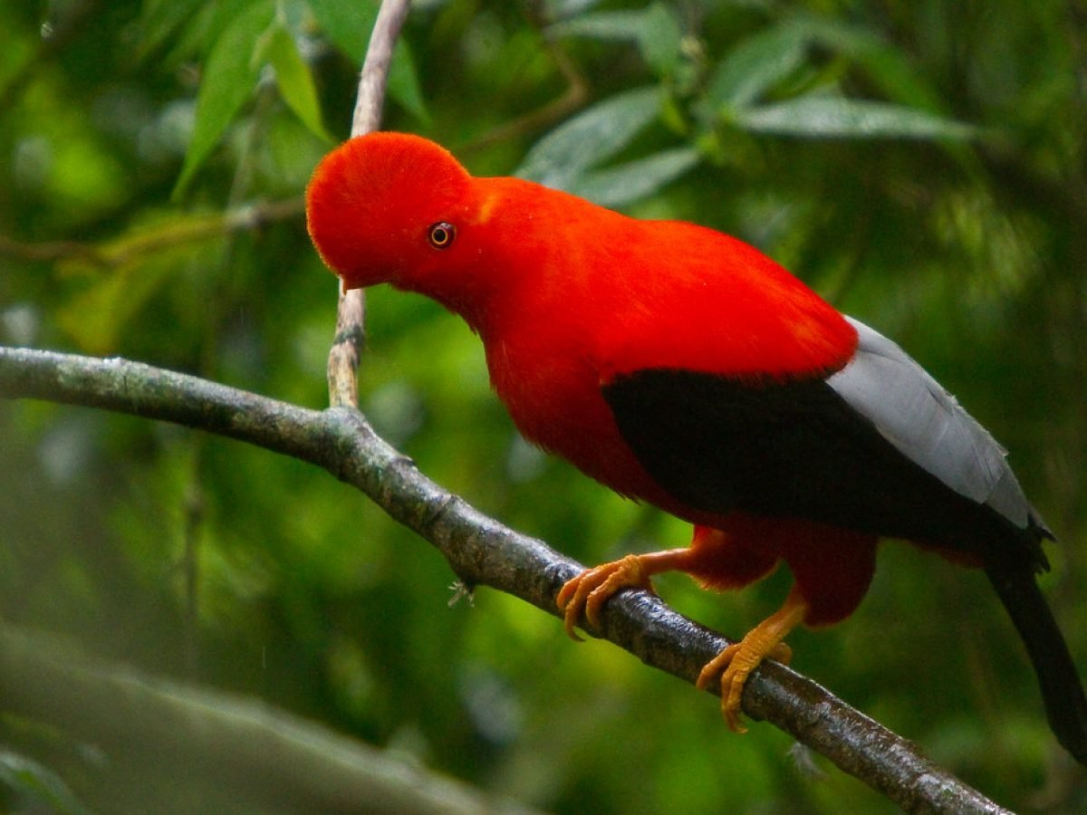 Foto del pájaro Gallito de Roca